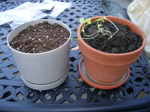 Newly planted cilantro on the left (organic), regular old cilantro on right