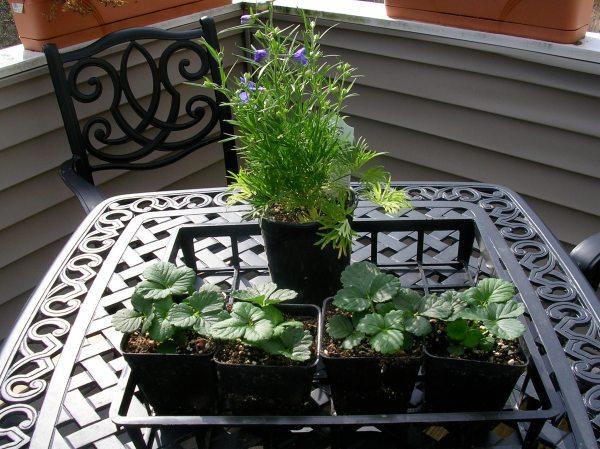 4 strawberry plants and one delphinium!