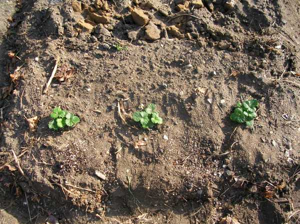 Newly planted strawberry plants