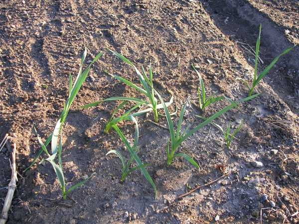 Garlic plants transplanted to our plot