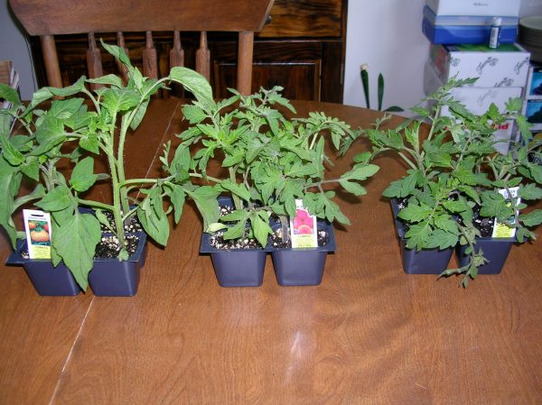 Brandywine, Pineapple and Green Zebra tomato plants