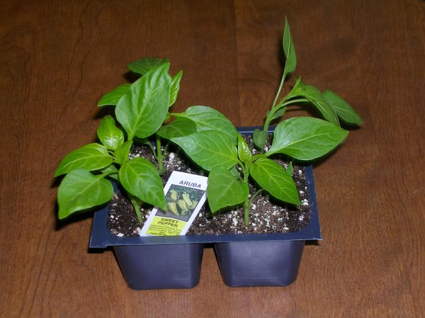Aruba Pepper plant
