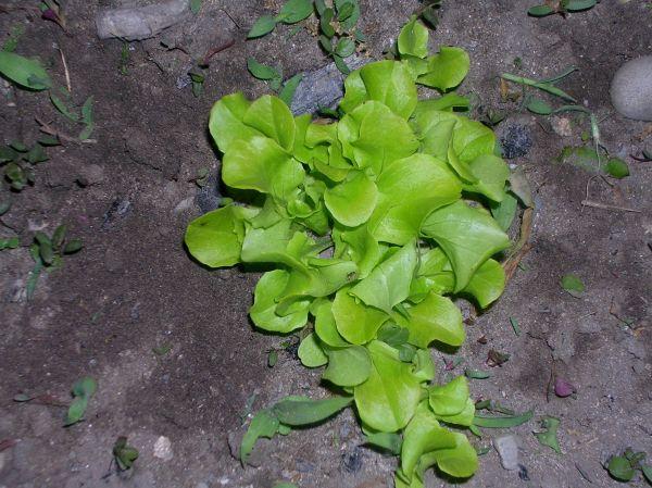 Black-seeded Simpson lettuce.