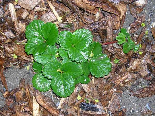 Strawberry plant with little runner