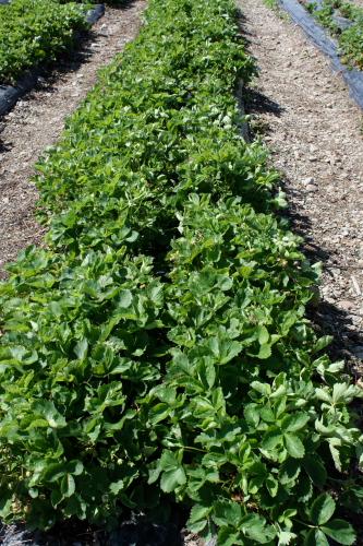 Row of strawberry plants