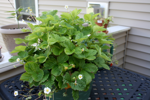 Our crazy alpine strawberry plant