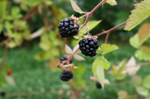 Beautiful blackberries