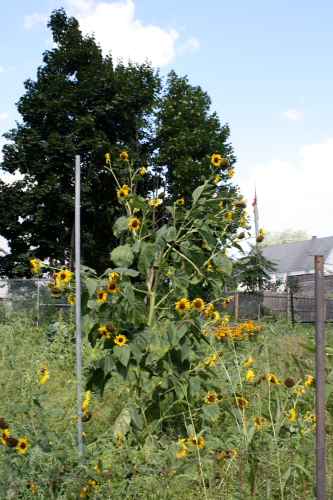 Lots of smaller sunflowers