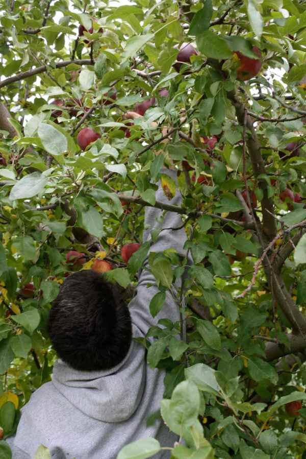 K picking apples